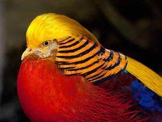 """Aves de colores * """"Faisán dorado"""""""