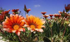 orange daisy flowers field.jpg
