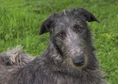 Scottish Deerhounds Deerhounds in the UK Deerhound Stud Dog Scottish Deerhound, Irish Wolfhounds, Scotch Collie, Medieval World, Afghan Hound, Lurcher, Kinds Of Dogs, Dogs Of The World, Dog Love