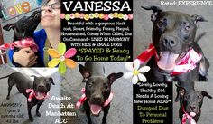 """SUPER URGENT  TO BE DESTROYED 08/29/15 VANESSA AKA STAR - A0995819 - - Manhattan TO BE DESTROYED 08/28/15 Vanessa is a young mix of labrador retriever and pit bull. She was surrendered due to her owner's """"personal problems. She obviously was not an indulged dog and she could use some medical care for her conjunctivitis and her urinary tract infection, a heart murmur.  http://nycdogs.urgentpodr.org/vanessa-aka-star-a099581"""