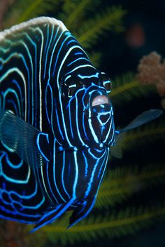 Juvenile Emperor Angelfish - that is one seriously cool fish!  @Sarina Wiltshire Martinez - can this kind of fish live in your tank?
