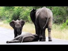 """Herd of Elephants Helps an Elephant Calf After Collapsing in the Road - ...I read this article on Yahoo and the baby """"may have"""" been throwing a temper tantrum of sorts?"""