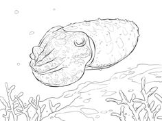 Broadclub Cuttlefish Coloring Page