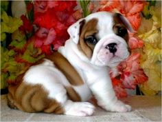 Teacup French Bulldogs, i am pretty sure he is English bulldog