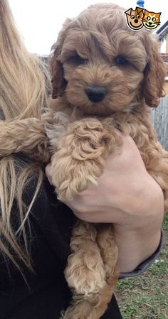 Red American Cockapoo Puppies Due End Of August! | Lee On The Solent, Hampshire…