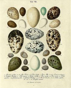 hand colored engravings from 1818 by JF Naumann