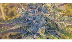 Girl Scout Cookies are far more potent than its name might suggest. A slightly indica-dominant hybrid strain, GSC is known for its power and flavor. Cannabis Seeds For Sale, Cannabis Shop, Weed Shop, Buy Weed, Cannabis Plant, Marijuana Plants, Weed Drug, Pat Cash