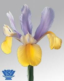 Oriental Beauty ® (IRIS) LightBlue/Yellow 60-70cm
