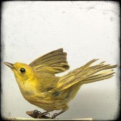 yellow warbler, natural history bird specimen, photograph by Diana Brennan via Etsy