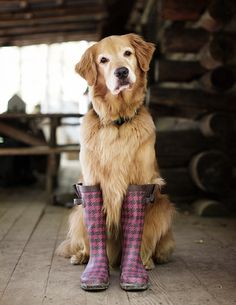 Dog in wellies (golden retriever)