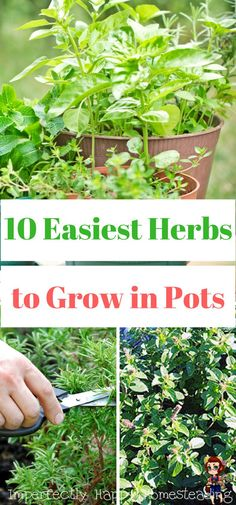 The 10 Easiest Herbs to Grow in a Pot, Container or Raised Bed. Perfect additions to your garden or homestead.