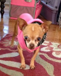 Hello Everyone-My name is Pam and I am a tiny Chihuahua.  I am super sweet and wag my tail all of the time.  I am very shy.  My foster mom thinks that I may not have been loved or given attention much before because I am not sure what to do when she...