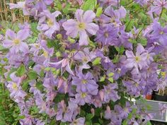 Clematis Prince Charles  At/Co