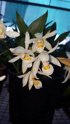 Coel.nitida, orchids Unique Flowers, Beautiful Flowers, Beautiful Fantasy Art, Orchid Plants, Plants Online, God Pictures, Just Amazing, Exotic, Succulents