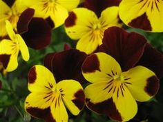 Yellow and maroon pansies.....