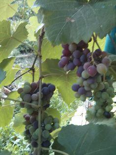 grapes vines