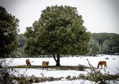 Bultei (SS) località Sa Fraigada. Cavalli nella neve 2017