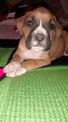 Boxer... Ella esta muy pancha! Se llama LOLA