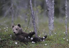 {<3} European brown bear
