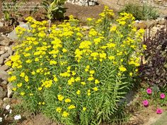 """Texas Tarragon""  -  Tagetes Lucida also known as Mexican Mint Marigold or Spanish Tarragon.  A member of the marigold family with leaves that taste just like tarragon.  Much easier to grow than tarragon and is drought resistant.  Blooms in the fall with a profusion of yellow flowers."