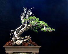 Four Bonsai Masterpieces & Free Critiques |