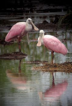 pretty in pink Spoonbills