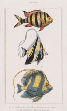 Hand coloured engravings of tropical fish, French, 18th century.
