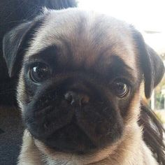 """Check out our web site for more details on """"fawn pugs"""". It is a superb place to get more information. Cute Pugs, Cute Dogs And Puppies, Pet Dogs, Pets, Funny Pugs, Doggies, Baby Pugs, Cute Baby Dogs, Cute Baby Animals"""