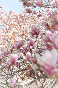 UW Arboretum - Magnolia Trees | Inspiration Nook #magnolia #trees #Spring