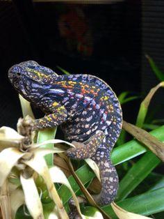 Carpet Chameleon (female)