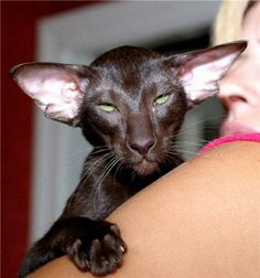chocolate oriental cats - Google Search Oriental Cat, Short Hair Cats, Kitty Kitty, Panther, Chocolate, Google Search, Plants, Animals, World