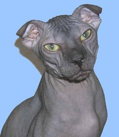 """Hailing from the Ukraine is the Levkoy Cat. These are a mix between cats with folded ears (probably a Scottish Fold) and a Sphynx. The result is a naked kitty with drooping ears. It is thought that their name was taken from the Levkoy plant which has leaves that resemble the Levkoy's oddly folded ears."" image credit: ukrainlevkoy.narod.ru"