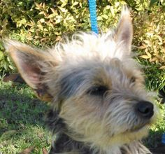 * Jackson is an adoptable Yorkshire Terrier Yorkie Dog in Dallas, TX. Jackson is a new arrival from a local shelter where he was in trouble because he was scared and shy. He weighs 15.2 lbs, is 1.5-2...