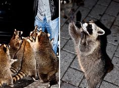 canadian racoons-- the ones in my friend`s neighbourhood eat Indian food from the dumpster behind an Indian restaurant, and they rip up bits of naan to eat with just like people do. Freaking racoons. So smart.