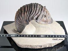 化石 三葉虫 博物館級 Scabrella sp. gの価格比較|アンティーク、コレクション|ヤフオク(ヤフーオークション)落札相場- オークファン(aucfan.com)