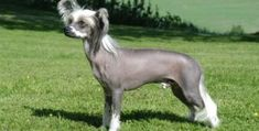 The Chinese Crested Dog-- is a smaller lbs) hairless breed of dog. Like most hairless dog breeds, the Chinese Crested comes in two varieties, both with and without fur, which are born in the same litter, the Hairless and the Powderpuff. Cutest Small Dog Breeds, Top 10 Dog Breeds, Unusual Dog Breeds, Best Small Dogs, Dog Breeds That Dont Shed, Cute Small Dogs, Rare Dog Breeds, Best Dog Breeds, Puppy Breeds