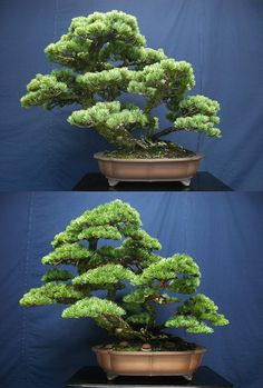 Great before and after of a White Pine bonsai, by Naoki Maeoka. #bonsai