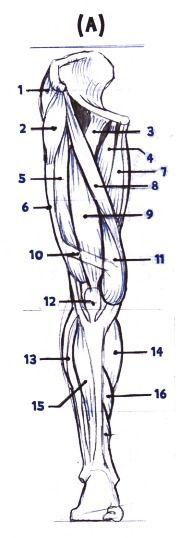 """1- """"glúteo medio""""  2- """"tensor de la facia lata""""  3-psoas iliaco  4-pectineo  5- """"basto lateral""""  6- """"facia lata""""  7-abductor mayor  8- """"sartorio""""  9- """"recto del fémur""""  10-banda de ritcher  11- """"basto medio""""  12-ligamento dela rotula  13-peroneo largo  14- """"gemelos""""  15-tibial anterior  16-soleo  17- """"tendón de aquiles""""  18-glúteo mayor  19- """"bíceps femoral""""  20-semitendinoso  21-delgado  22-semimenbranoso  23-tibia(hueso)  los músculos señalados con """" """" son los mas importantes a dibujar."""