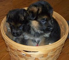 Jenny & Jack von Highlander  German Shepherd Puppies in a basket :-) too cute  Highlander German Shepherds
