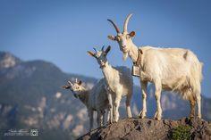 Goats by Moresco Stefan