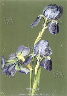 Iris, by Charles Polisch. France, 19th century