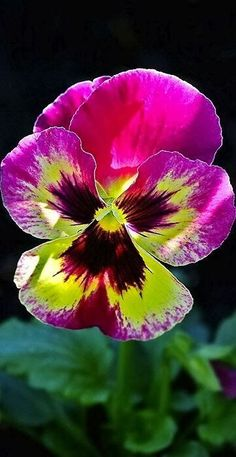 Pansy Beautiful gorgeous pretty flowers