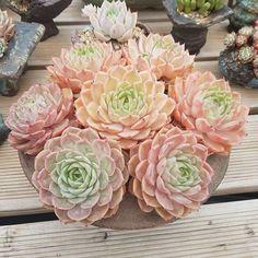 Echeveria Onslow -- Omg, I reeeaaaaallllyyyyyy NEED this plant!!!