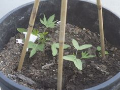 The start of Cypress vines Cypress Vine, Spring Blooms, Garden Tips, Vines, Yard, Gardening, Flowers, Plants, Patio