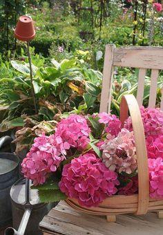 Beautiful pink Hydrangea bouquet in a backyard Hasta garden.