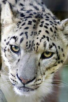 Snow Leopard Via Big Cats -fb