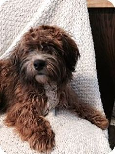 Elgin, IL - Lhasa Apso/Poodle (Standard) Mix. Meet Toast, a puppy for adoption. http://www.adoptapet.com/pet/17280099-elgin-illinois-lhasa-apso-mix