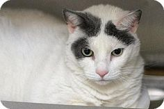 Bensalem, PA - Domestic Mediumhair. Meet 14-0411 Maggie, a cat for adoption. http://www.adoptapet.com/pet/10504855-bensalem-pennsylvania-cat