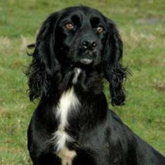 Felstead Gundogs - Working Cocker Spaniel