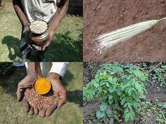 Medicinal Rice Formulations for Diabetes Complications and Heart Diseases (TH Group-20) from Pankaj Oudhia's Medicinal Plant Database